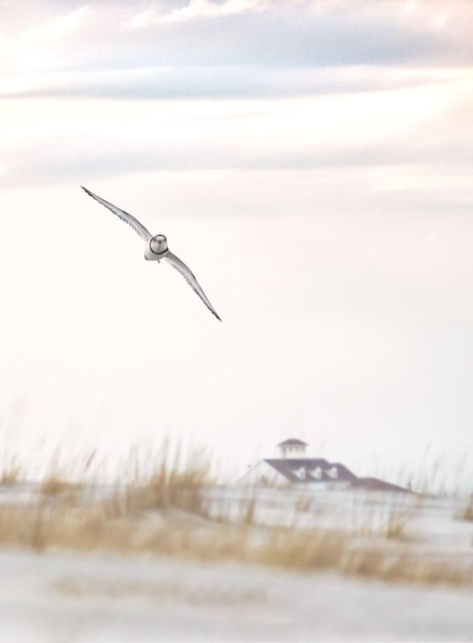 piping-plover-flight