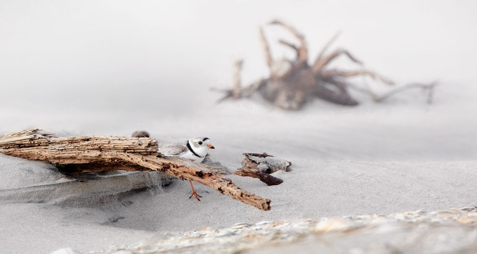piping-plover-n-driftwood
