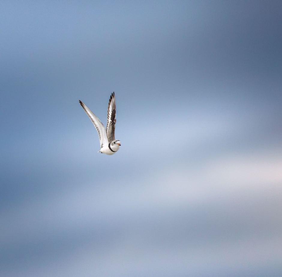 piping-plover-v-flight