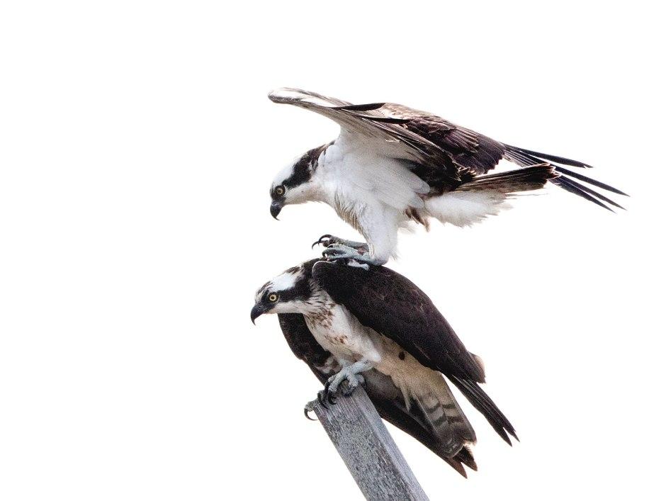 lbi-osprey-copulation