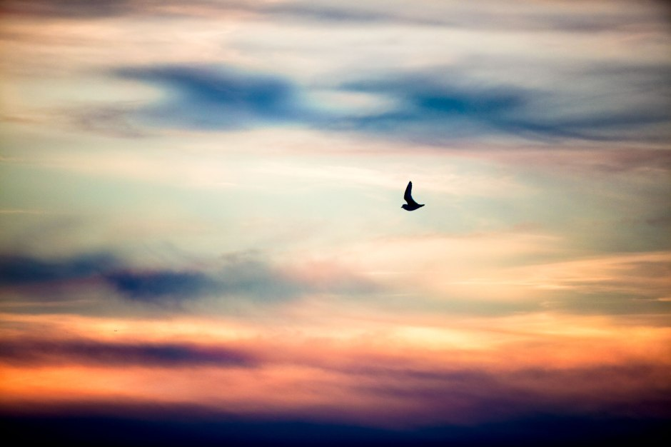 lbi-piping-plover-sunset-flight
