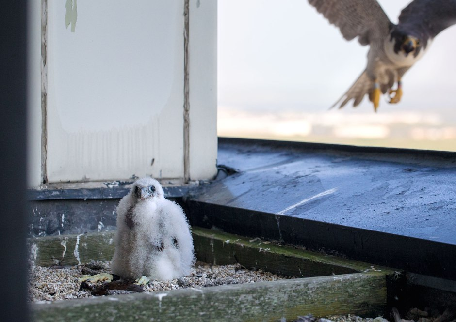 baby-falcon-with-mother