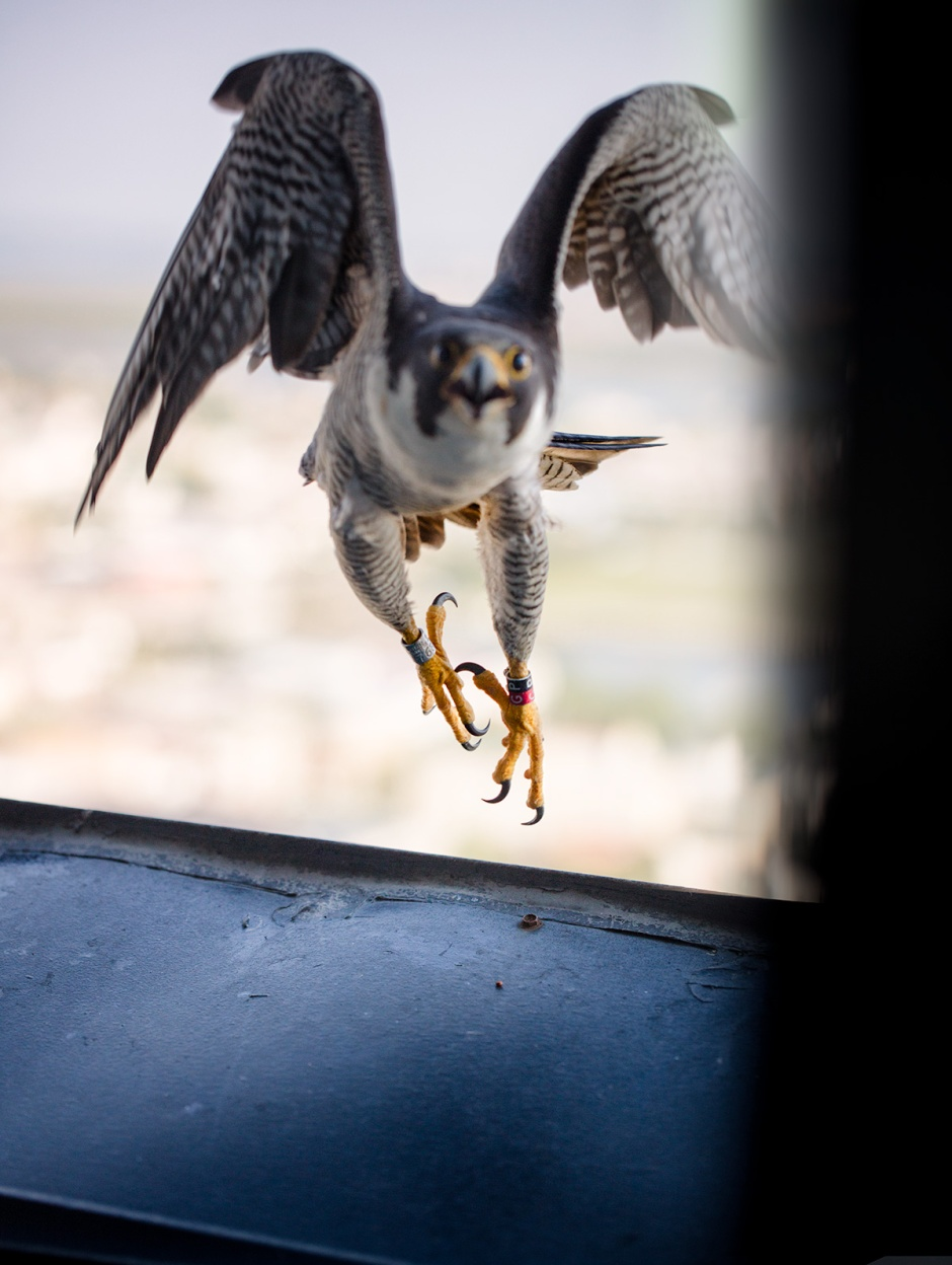 peregrine-fly-through-door