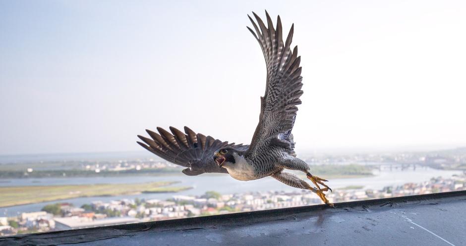 reregrine-flight-pose