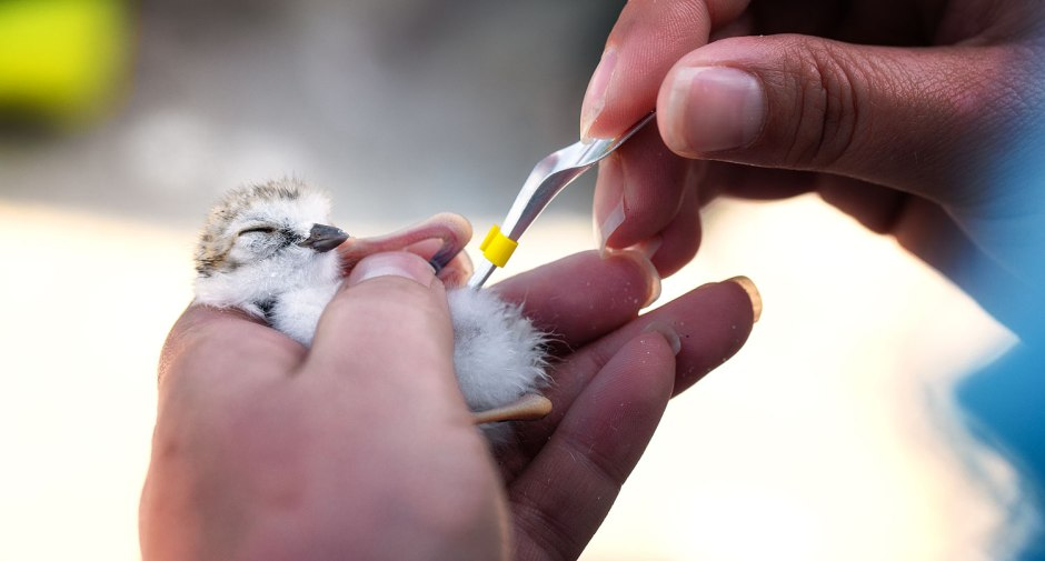 banding-piping-plover-chick
