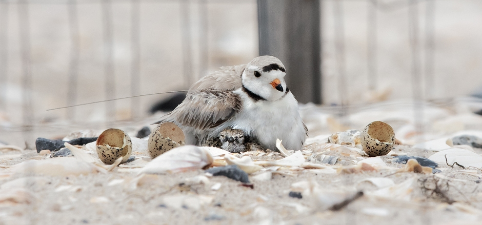 first-piping-plover-chick-appears-z