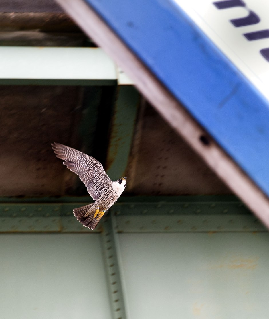 peregrine-attack-around-lift