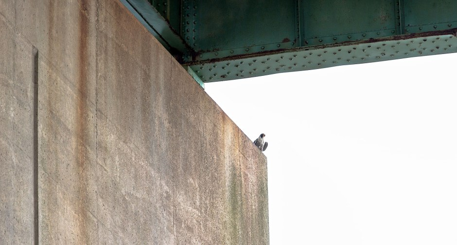 peregrine-billy-on-pier
