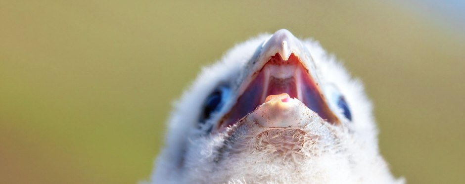 peregrine-chick-cry