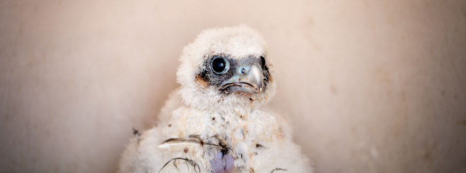 peregrine-chick-in-eyrie