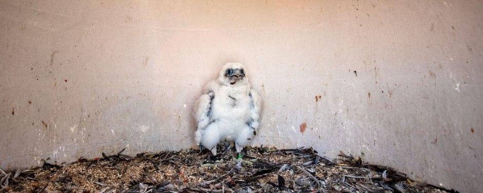 peregrine-falcon-josie