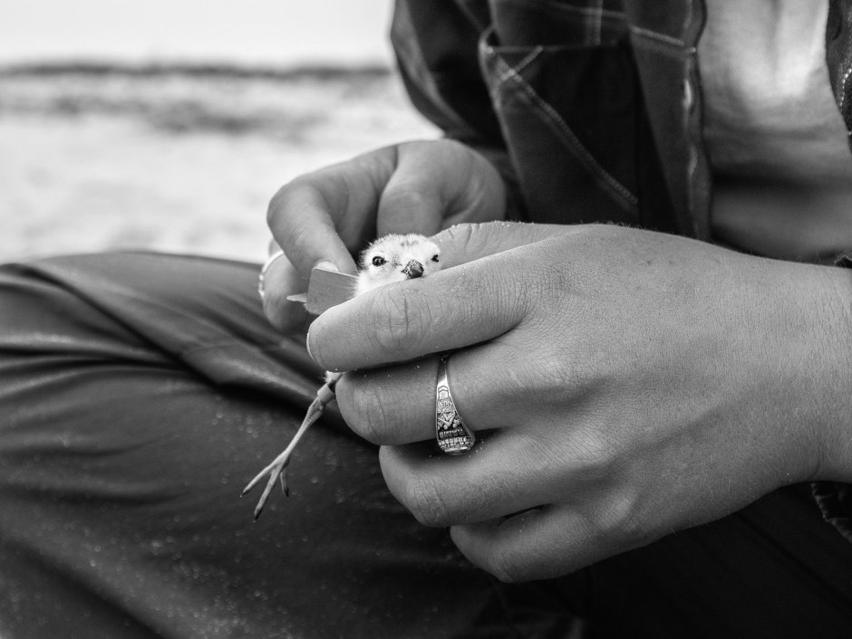 banding-piping-plover