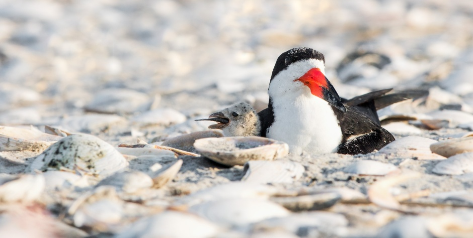 black-skimmer-chick-mouthfull
