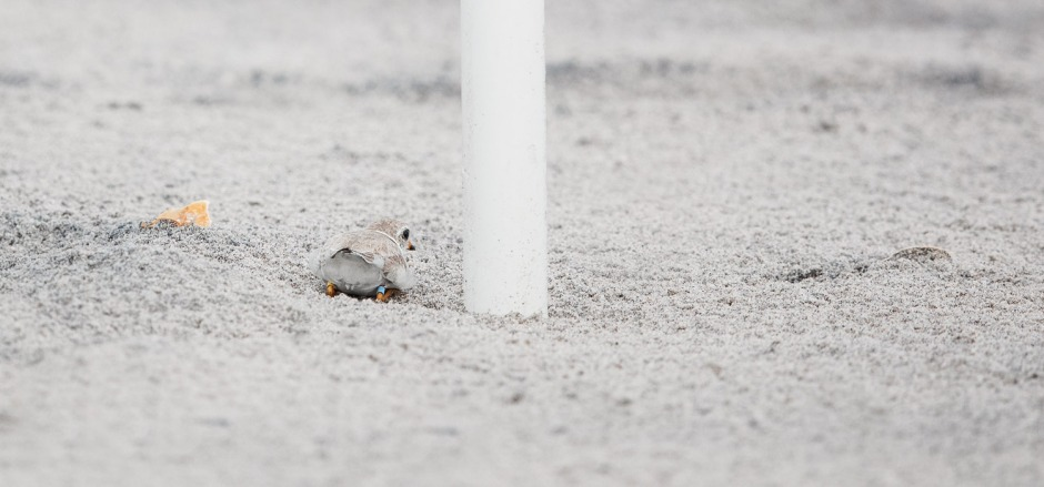 dobby-false-brooding-piping-plover