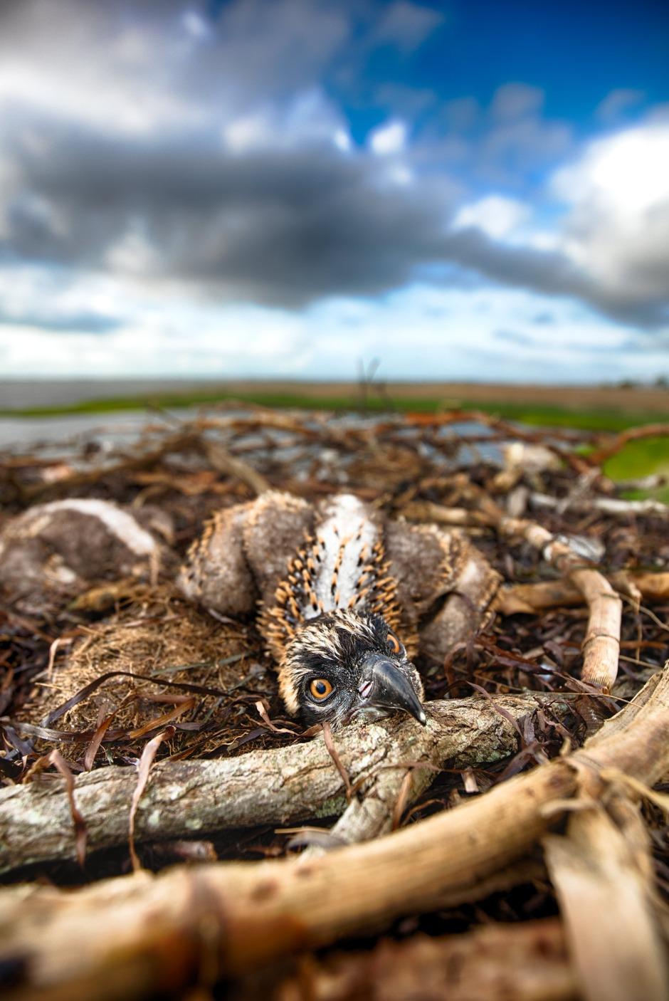head-resting-baby-osprey