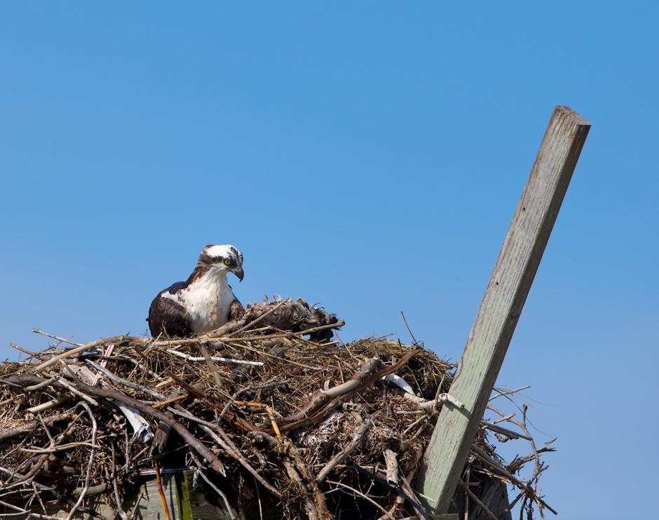 lbi-osprey-decorating-nest