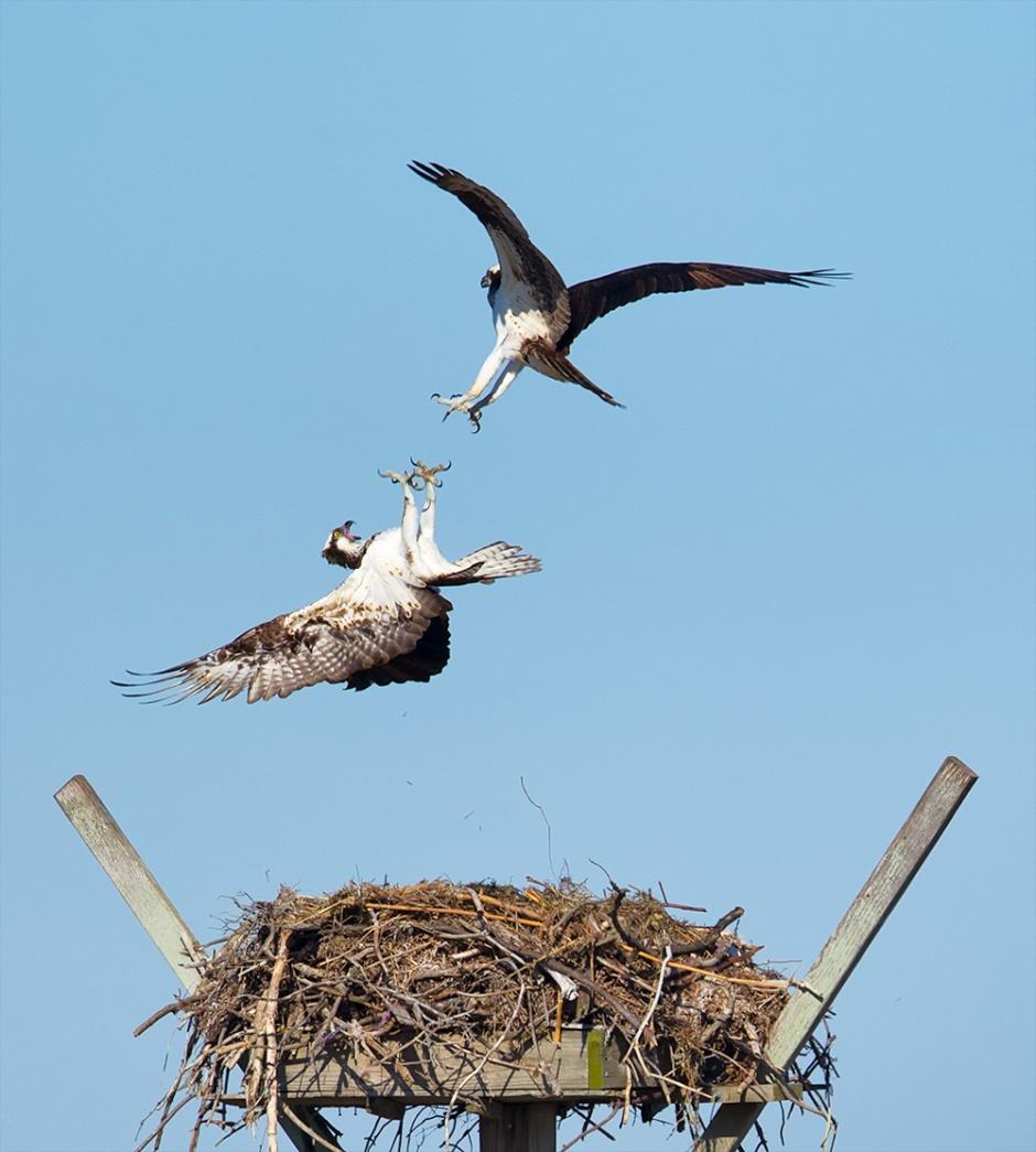 lbi-osprey-nest-fight