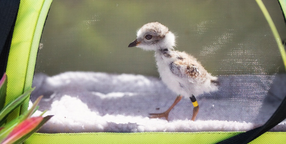 little-duckling