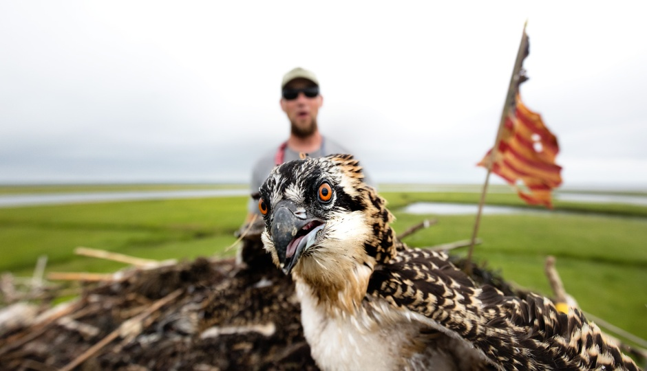 osprey-banding