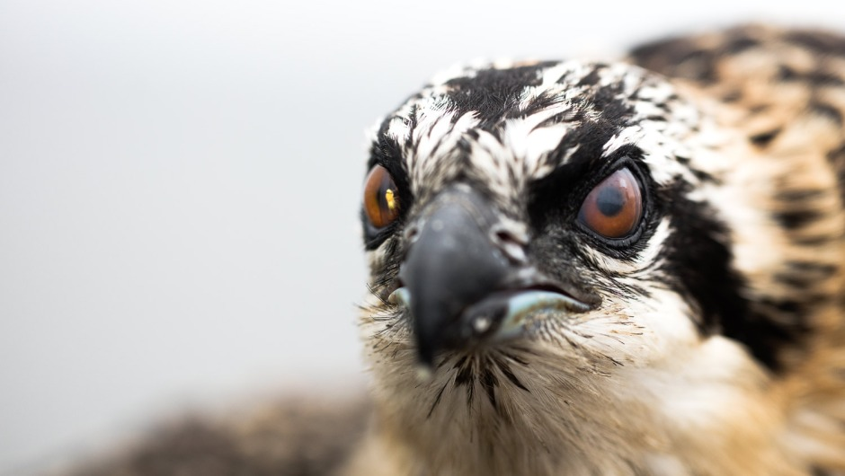osprey-bug-in-eye
