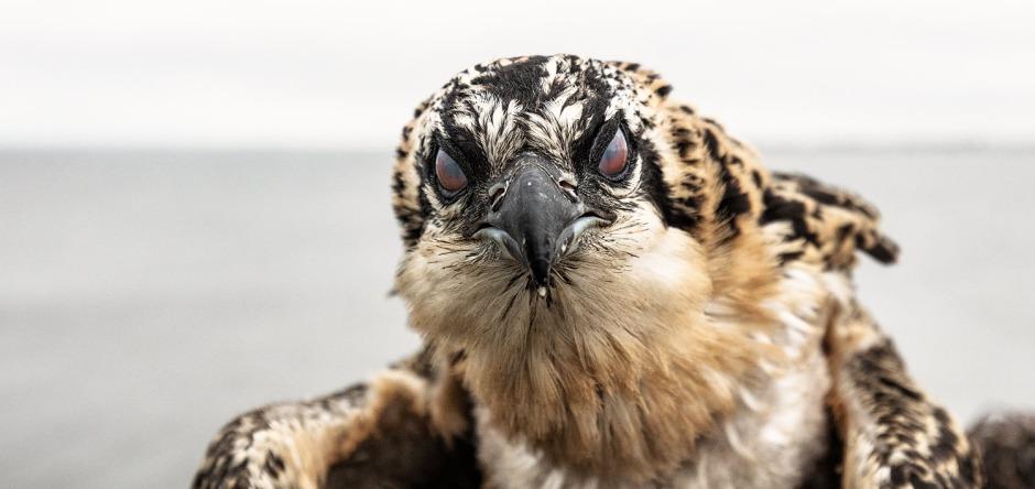 osprey-eye-membrane