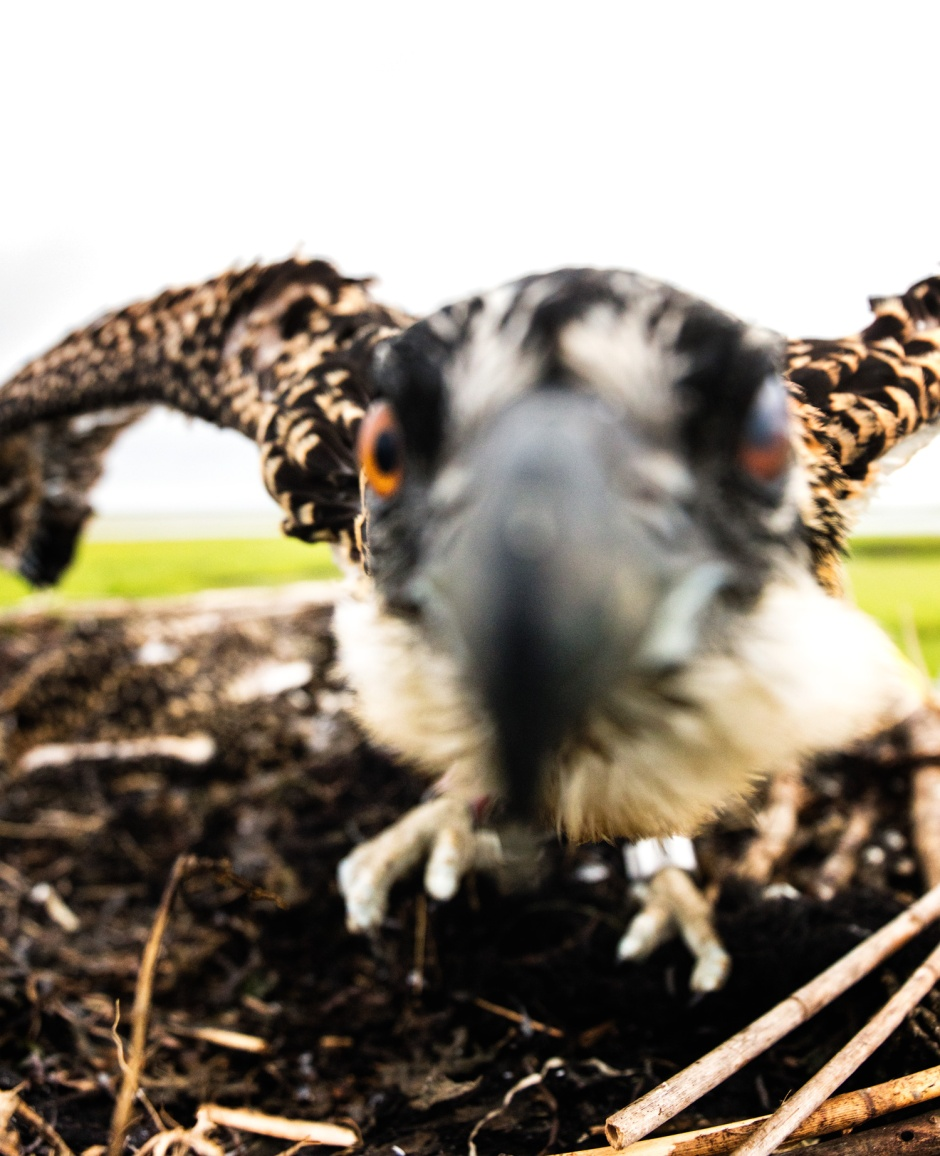 osprey-in-your-face