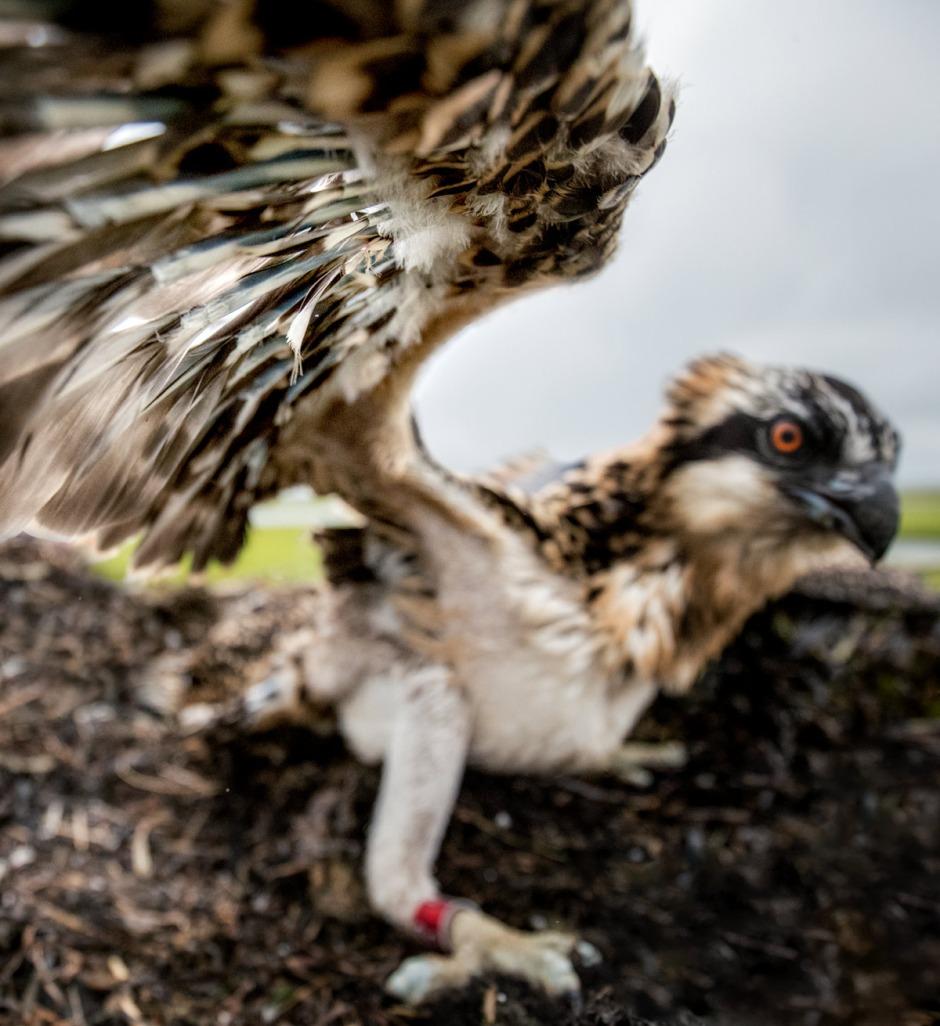 osprey-smack