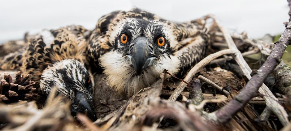 osprey-stare