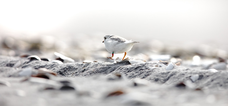 piping-plover-along-tire-track