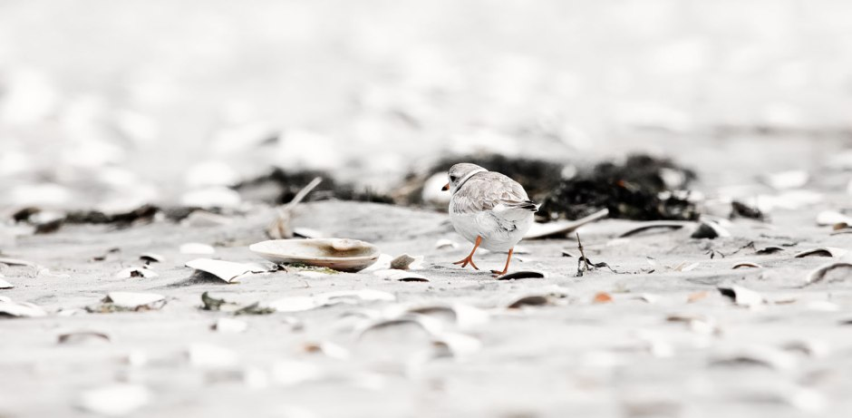 pregnant-piping-plover-myrtle