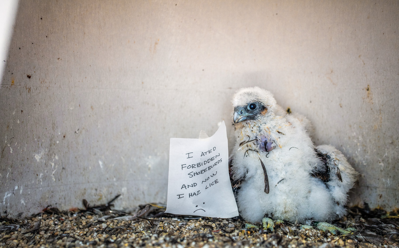shame-peregrine-falcon