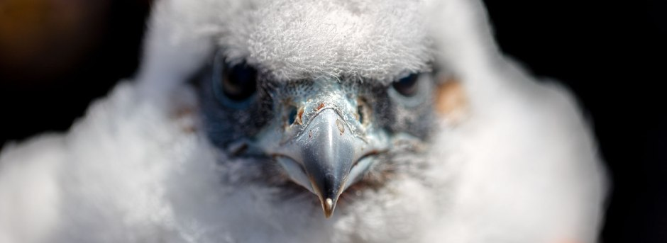 angry-little-pefa