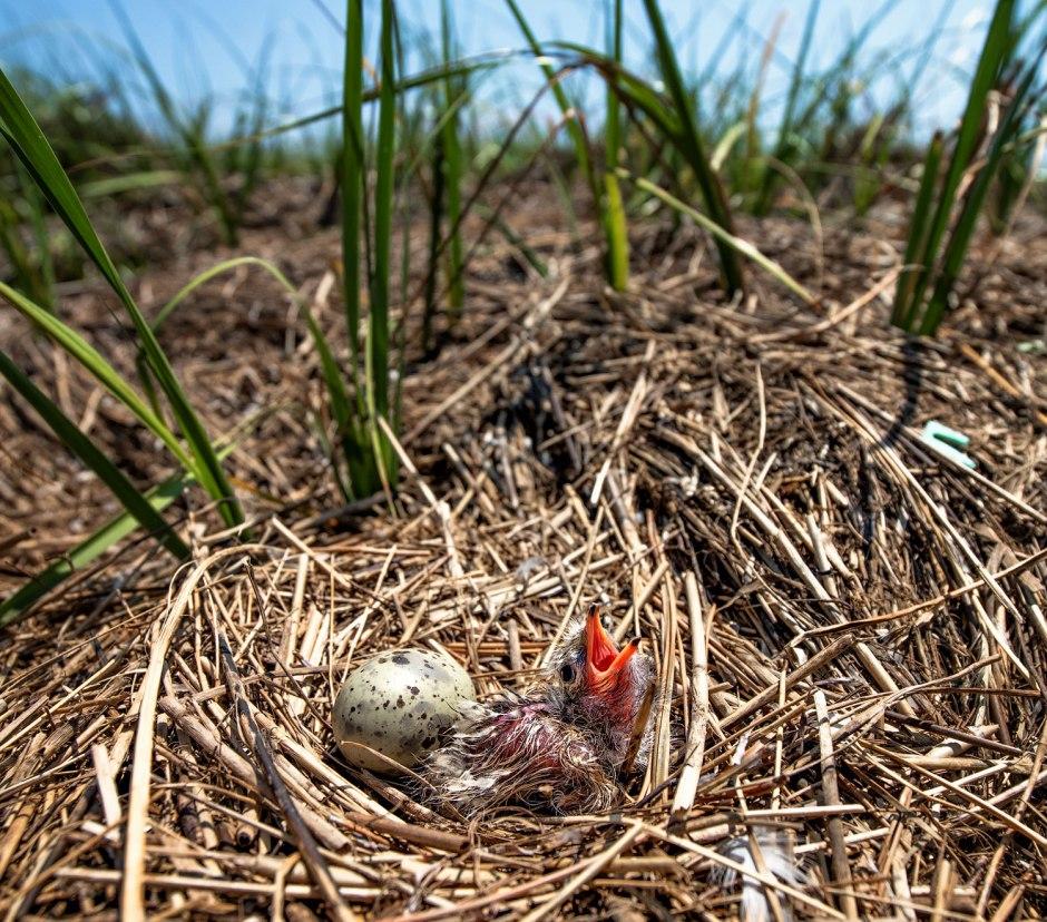 baby-super-baby-common-tern