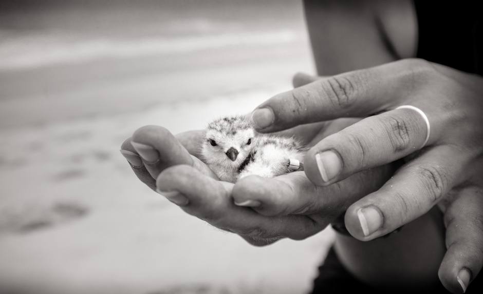 barbosa-piping-plover-chick