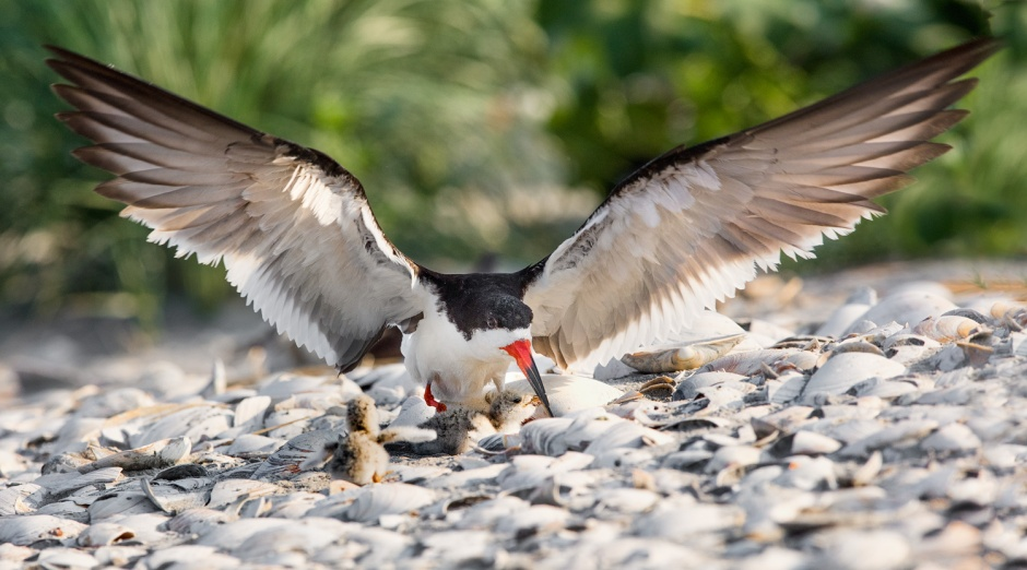 black-skimmer-with-chicks