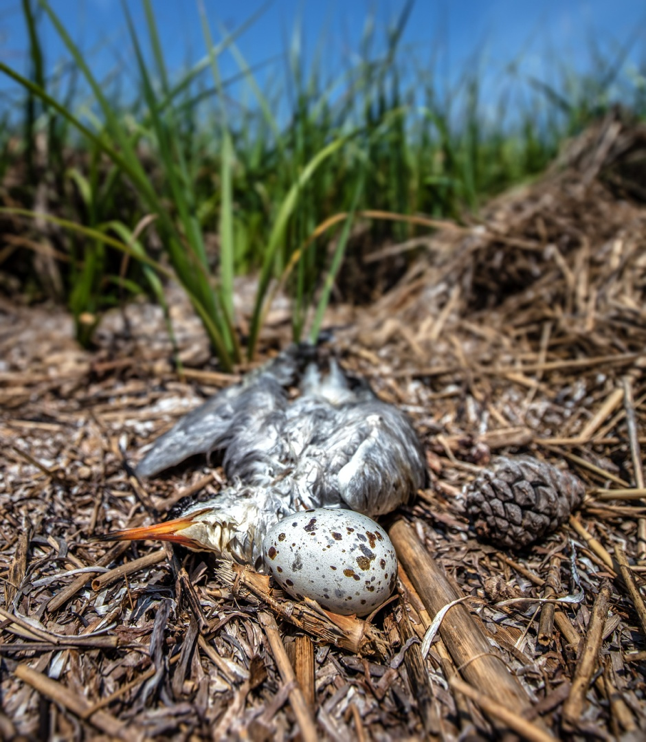dead-tern-with-egg