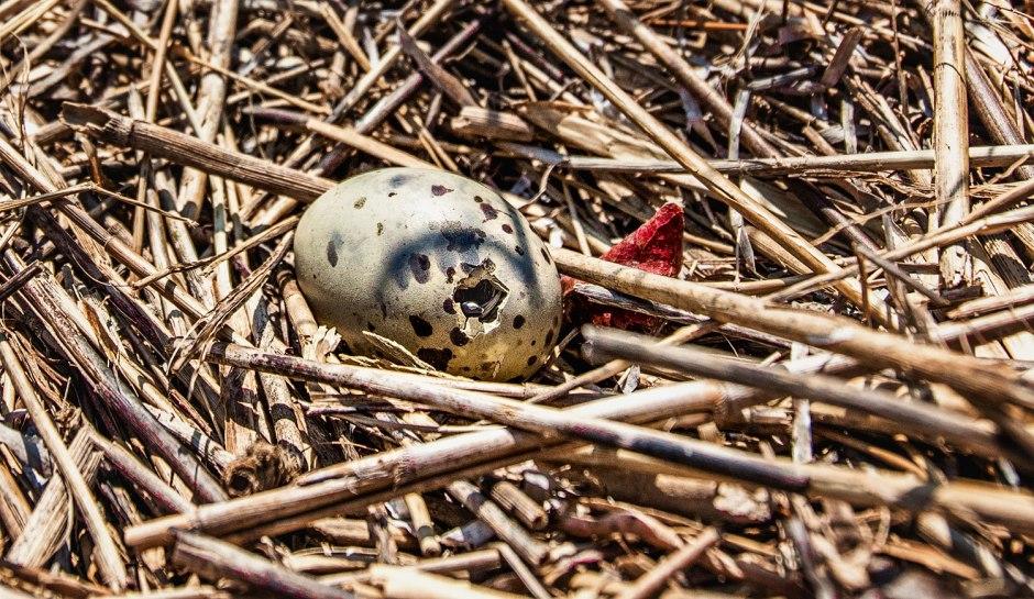 egg-pip
