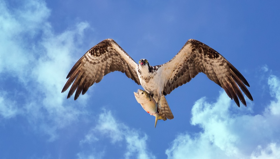 osprey-hot