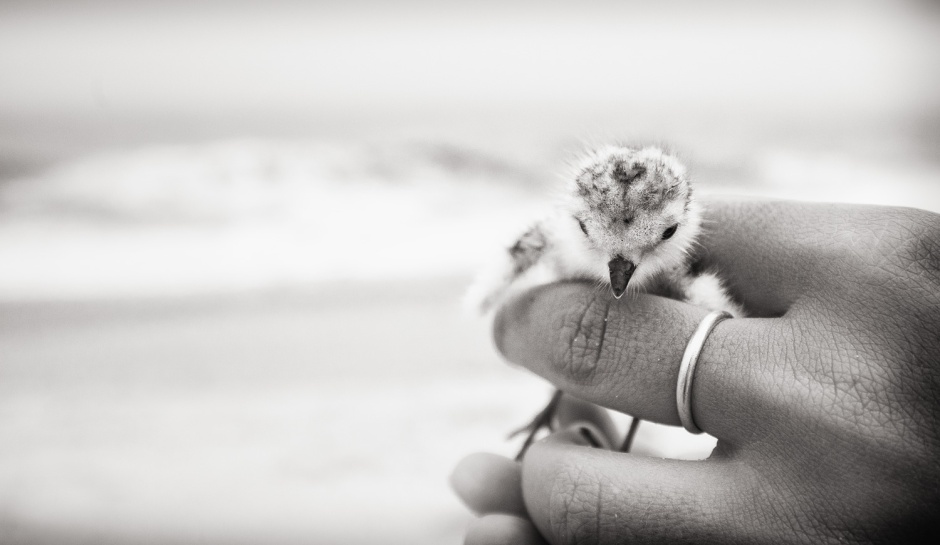piping-plover-chick-finger