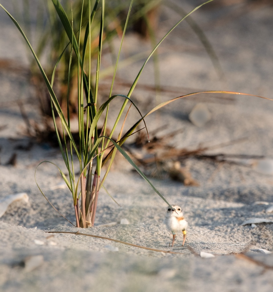 piping-plover-chick-foraging-bugs