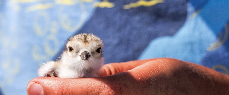 piping-plover-chick-hold