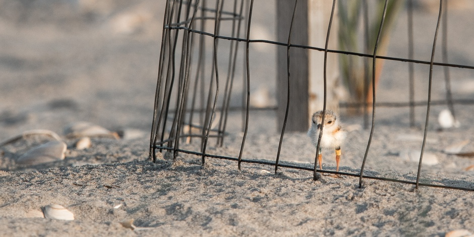 piping-plover-chick-in-exclosure