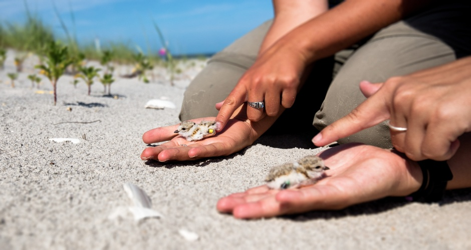 piping-plover-chick-release