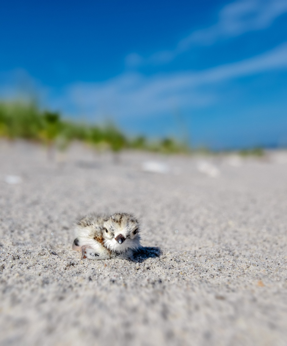 piping-plover-chick