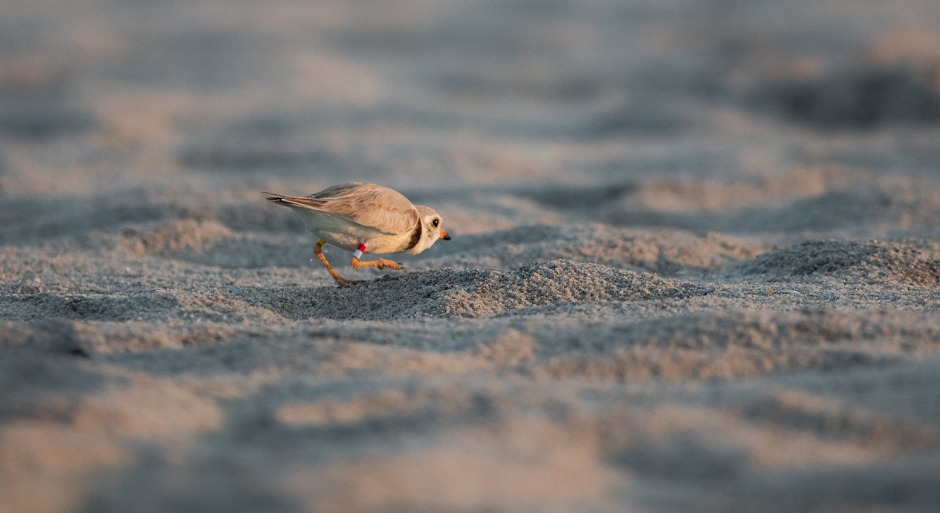 piping-plover-creep