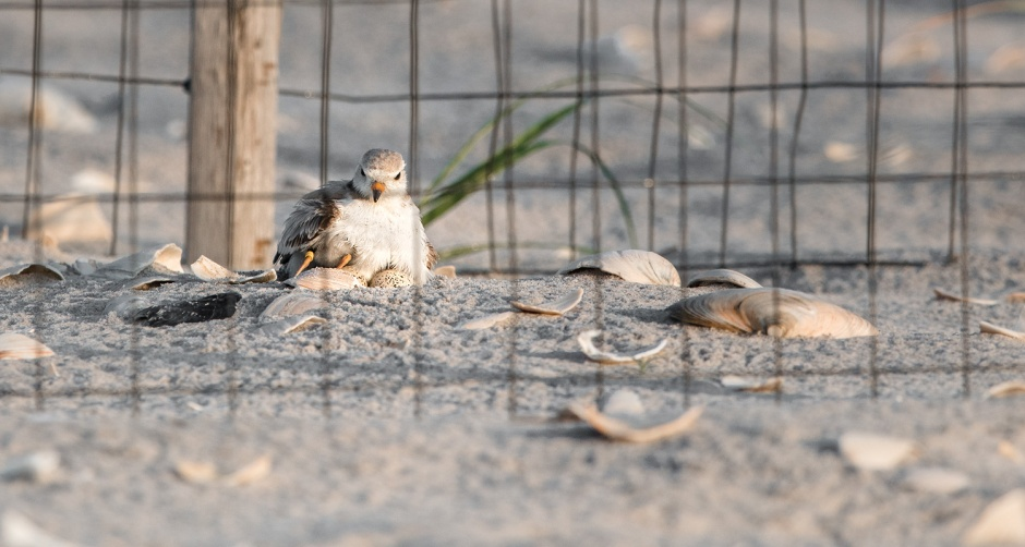 piping-plover-late-hatch