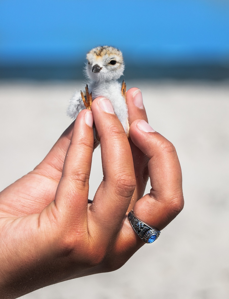 piping-plover-ring