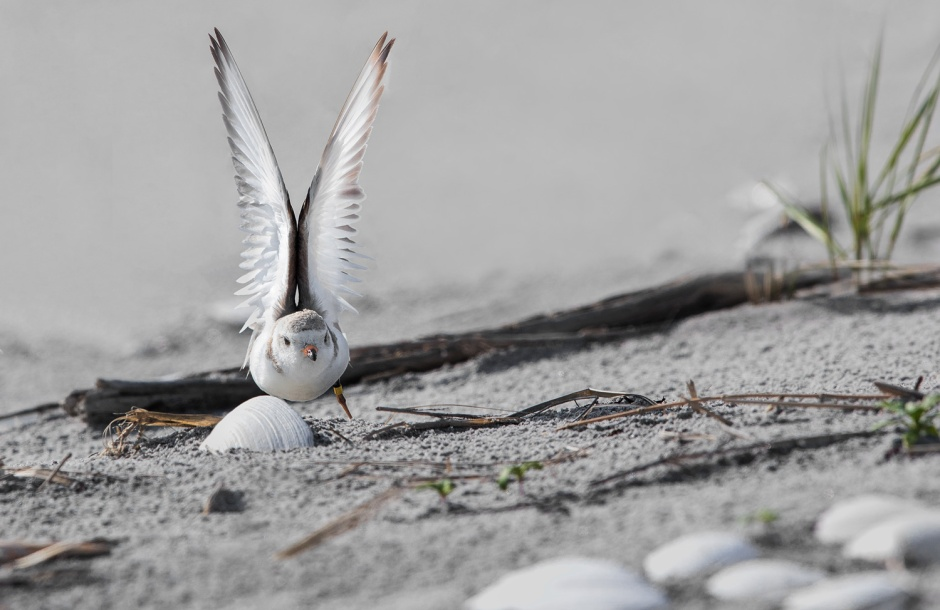 piping-plover-wing-stretch
