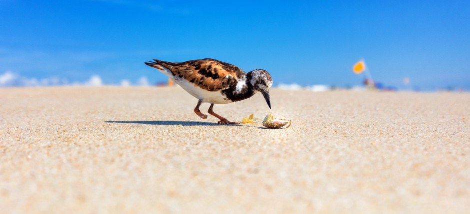 one-footed-ruddy-turnstone