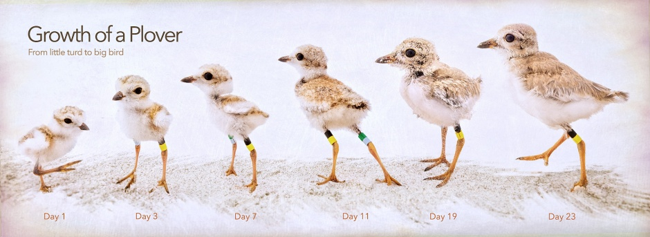 piping-plover-growth-chart-x